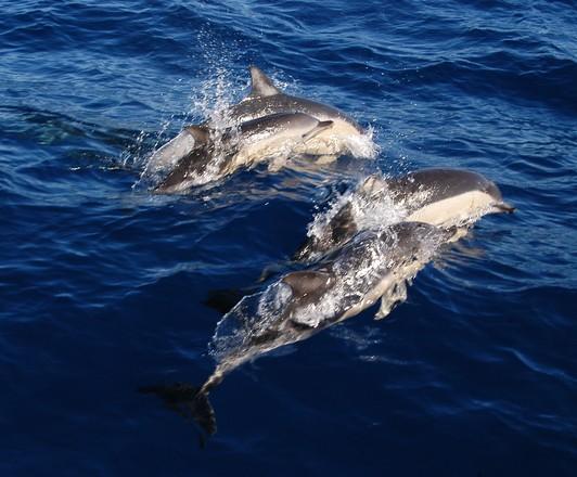 Golfinhos - Dolphins