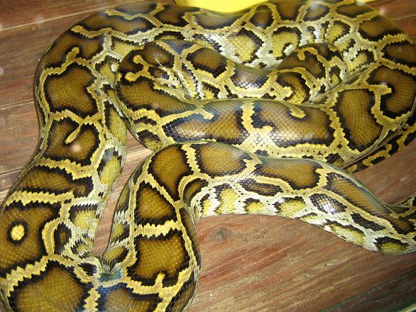 Piton snake