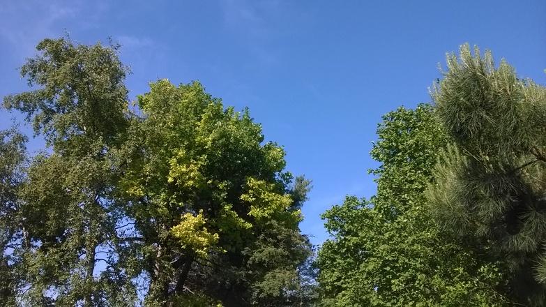 Tree tops on blue sky
