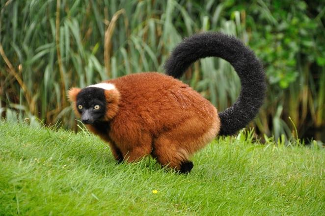 Red ruffed lemur 3