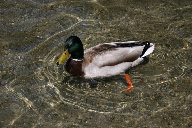 duck col-vert