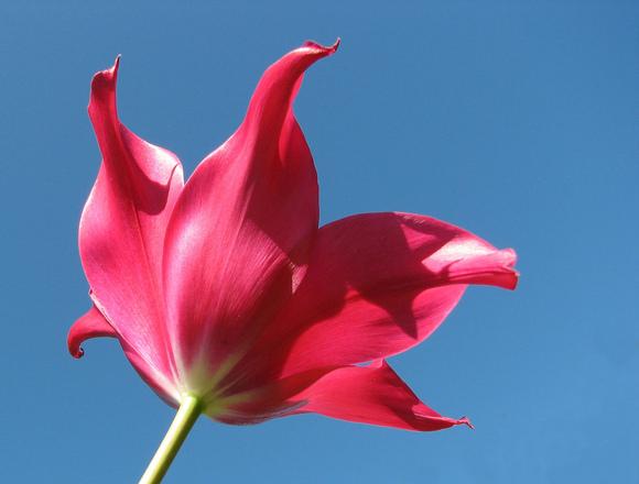 Tulip in the Sky