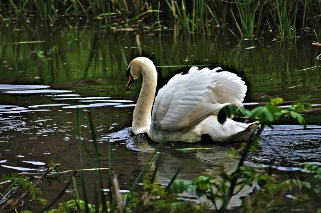 Swan 15
