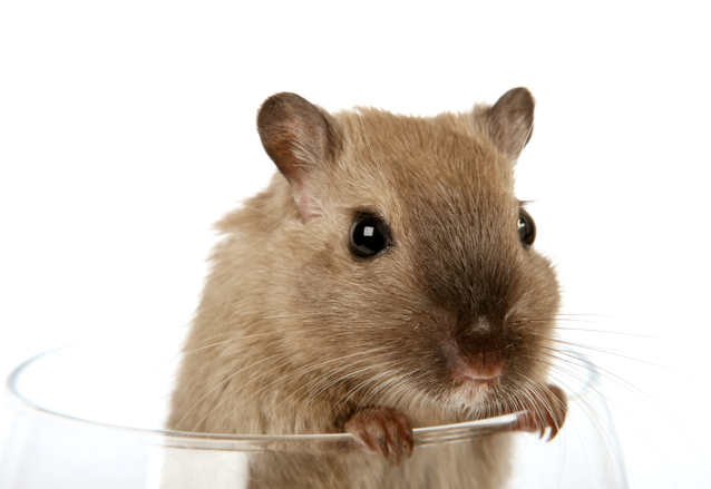 Rodent in wine glass