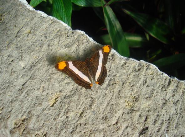 Orange Dot Butterfly