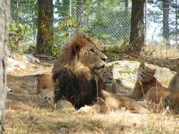 Free Lions in captivity Stock Photo - FreeImages.com