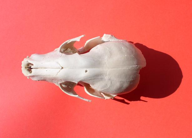 Animal skull 5