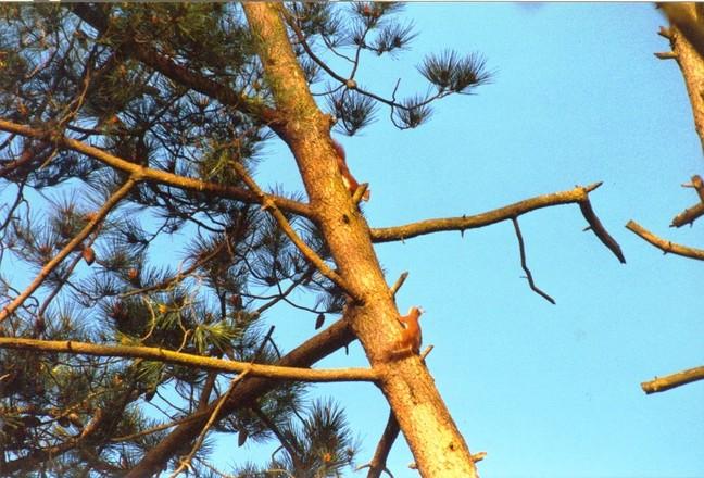 Squirrels on pine tree