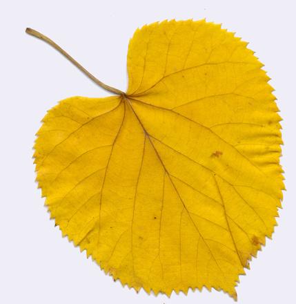Tiliae Herba
