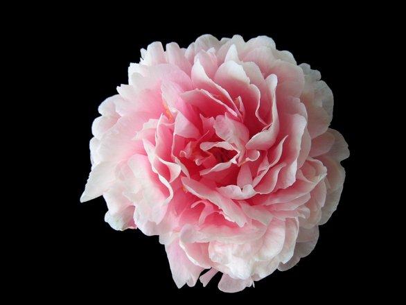 Camellia or peony