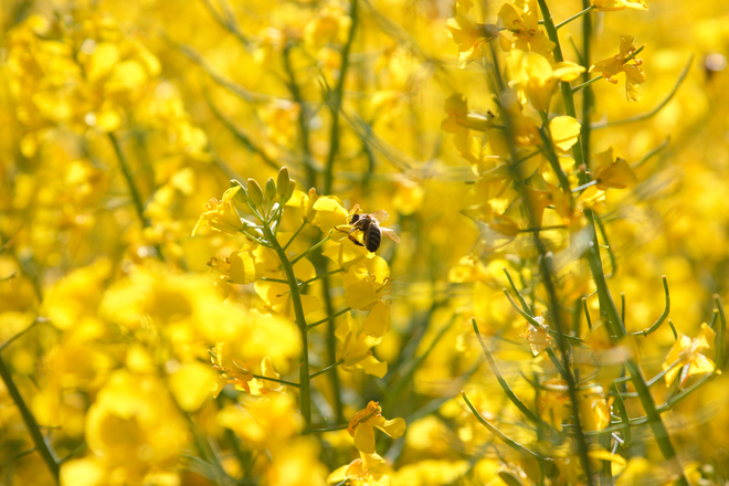 Free Bee 5 Stock Photo Freeimages Com