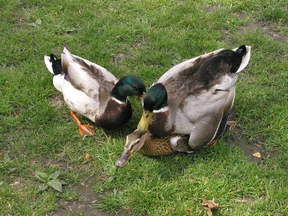 Duck Fuck 107