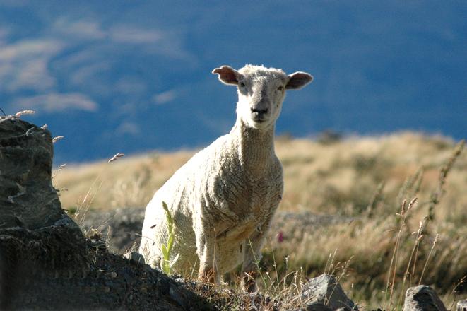 Curious NZ sheep