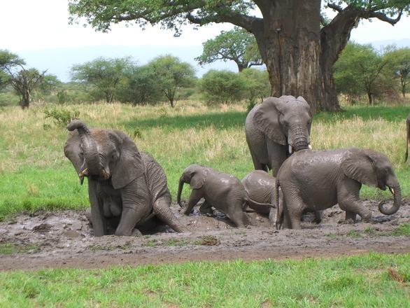 Resultado de imagen de elefantes africanos bañandose en lodo