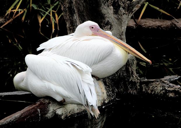 Pelicans resting