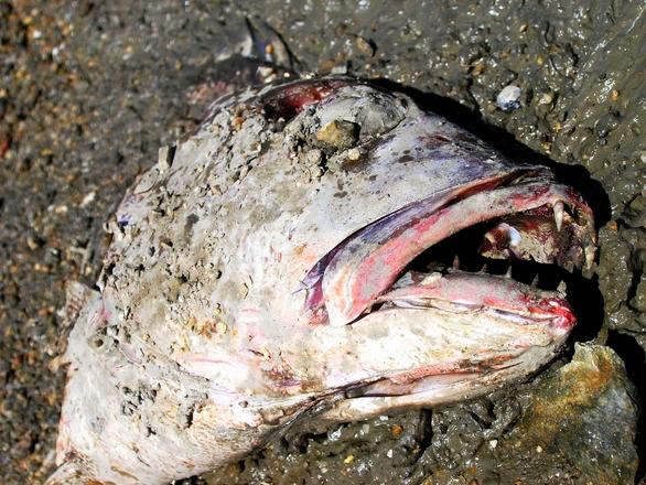 Image gallery deadfish for Dead fish crockett