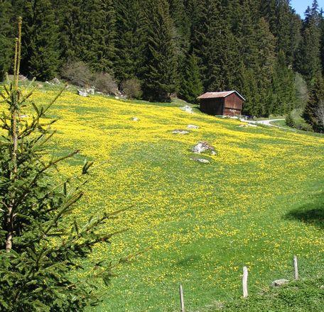 Dandelions on alpine meadow