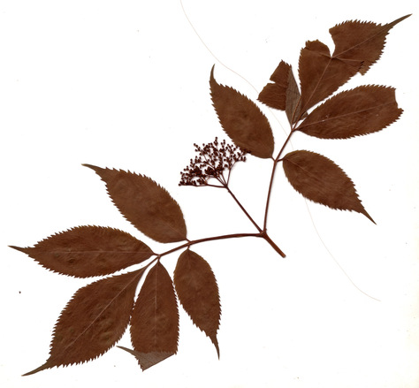 herbarium 4