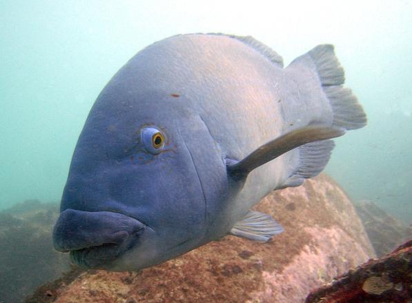 Free Big Blue Fish Stock Photo