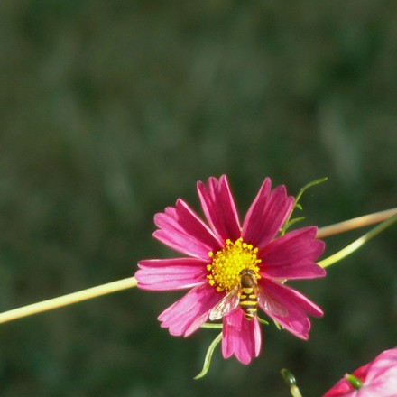 Free Cosmos And Bee Stock Photo Freeimages Com