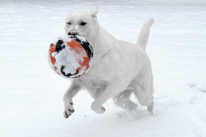 White Shepherd Snow Dog 1
