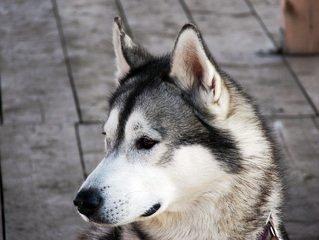 dog,Husky,alaskan,malamute