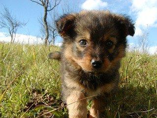 puppy,dog,little,animal
