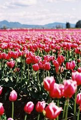 Mount Vernon Tulips