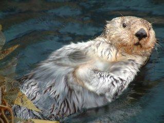 loutre de natation