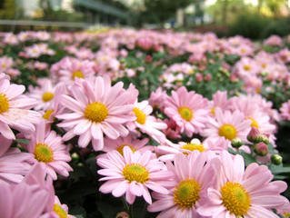 Free fall flower images pictures and royalty free stock photos flowersflowerfallpink mightylinksfo
