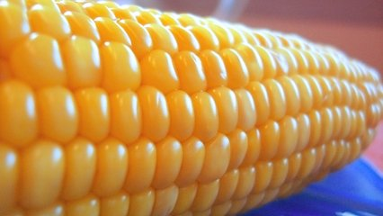 Corn,yellow,corn,thanksgiving