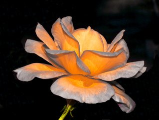 Une rose est juste une rose