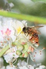 abeille,bee,Biene,abeja