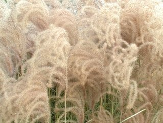 autumn-seeds-ornamental-grass-2-1184671.