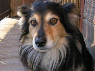 dog,old,mongrel,burek