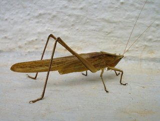 Cricket,criket,animal,insect