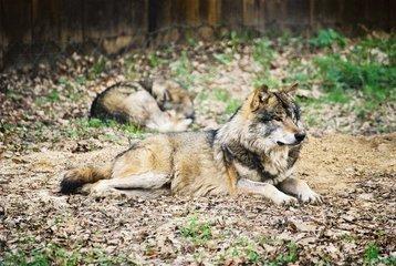 Wolf,wolf,wolves,Bialowieza