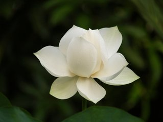 Free White Lotus Flower Images Pictures And Royalty Free Stock