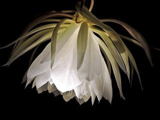 Free Night Blooming Cereus