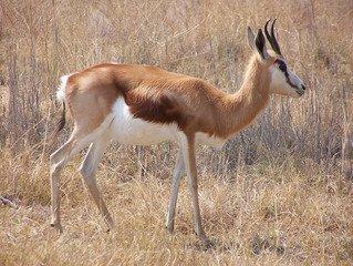 Springbok,springbok,buck,antelope