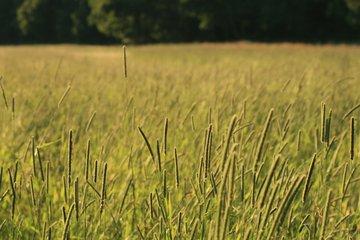 Long grass in a field