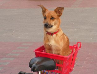 dog,shop,bicycle,basket