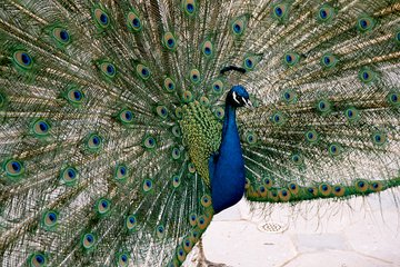 free peacock colors images pictures and royalty free stock photos