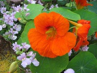 Nasturtium,nasturtium,flower,flowers