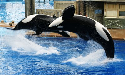 Free whale images pictures and royalty free stock photos killer whales flipping voltagebd Gallery