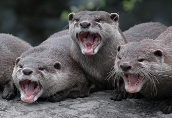 Laughing Otters