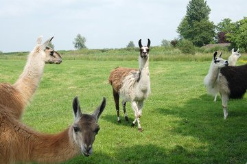 Free llama Images, Pictures, and Royalty-Free Stock Photos ...