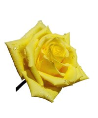 Free Single Yellow Rose Images Pictures And Royalty Free Stock