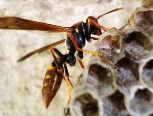 Wasp, hive, wasp eggs 2