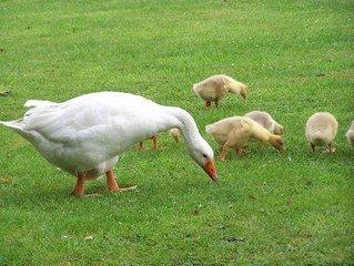 Gosling,goose,geese,baby
